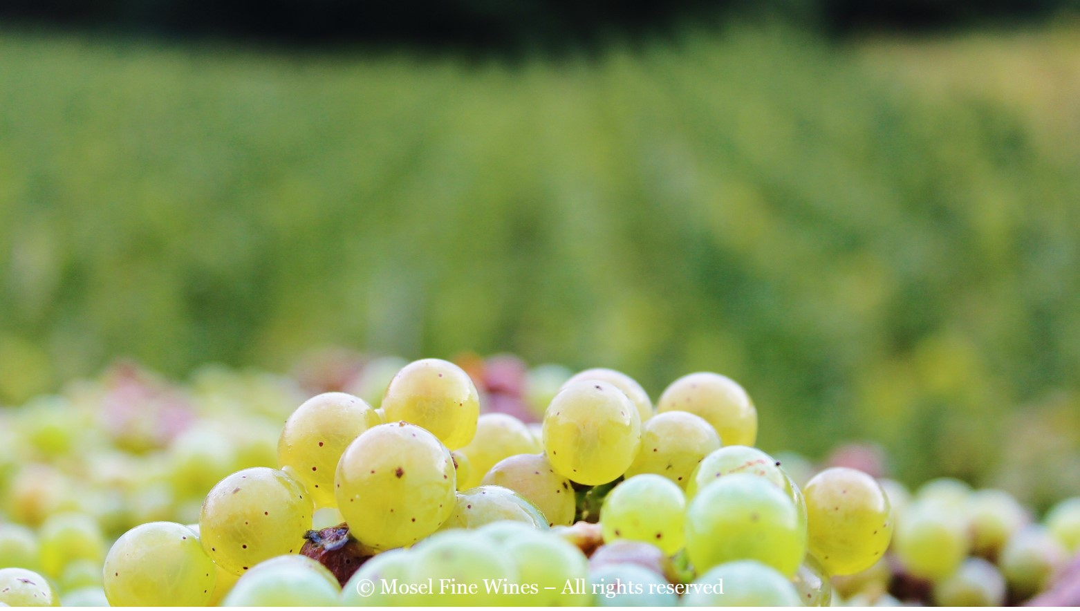 Mosel Vintage 2015 | Beautiful Riesling Grapes
